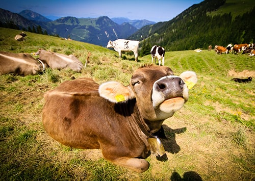 Happy cow enjoying the fresh air of the mountain.