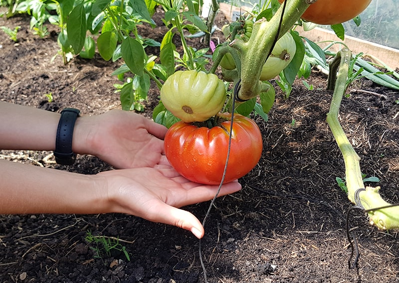 Hands holding a big tomato for the veggie box.